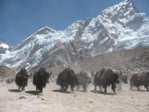 Yakarna på väg ner från Everest BC