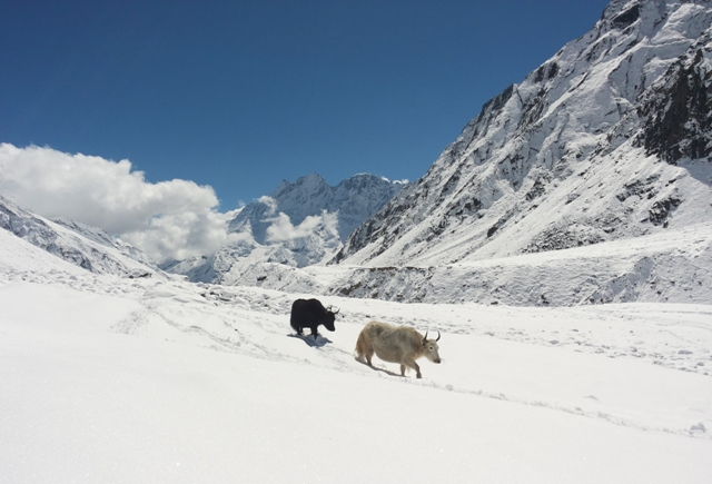 Yaks on their way home to Arie