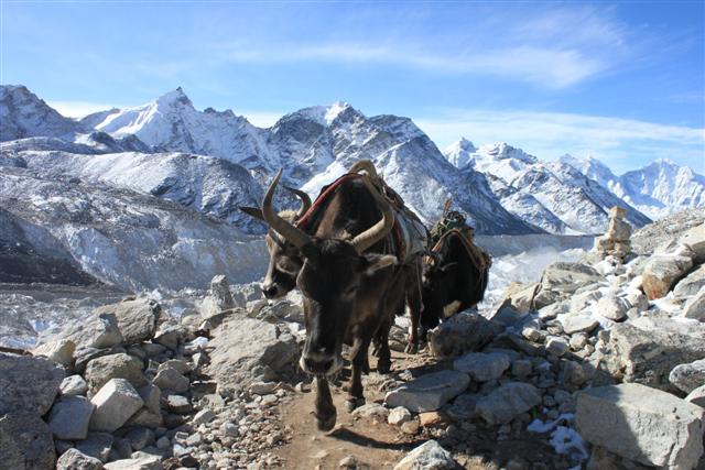 Jopkie (mix av yak och ko) karavan pa vag till Everest BC