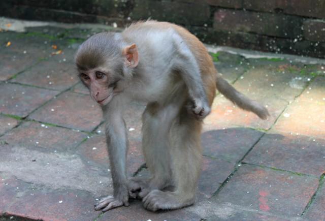 Apa vid Monkey Temple