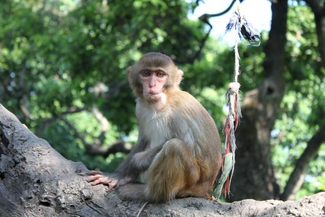 Liten apa vid Monkey Temple