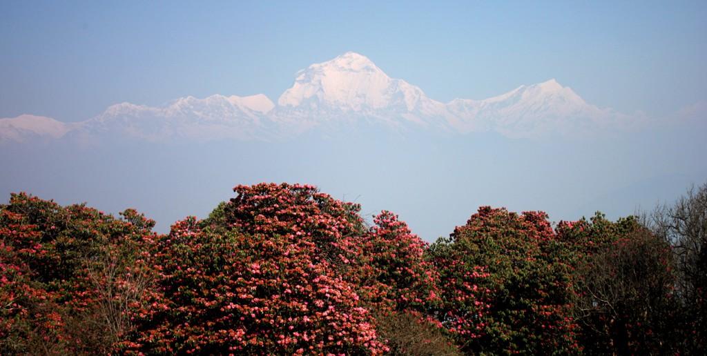 Rhododendrongsäsong i Nepal
