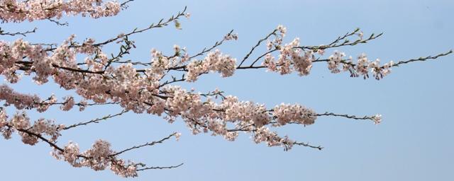 Det ar var i Himalaya nu.  Alla trad blommar vackert!