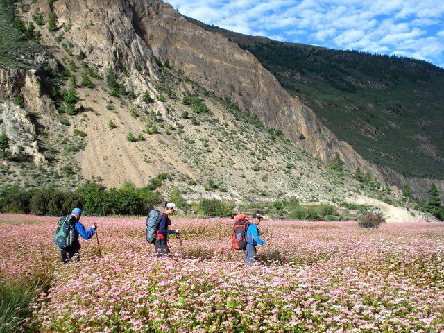 Bovetefälten lyser rosa längs med vägen ut till baslägret